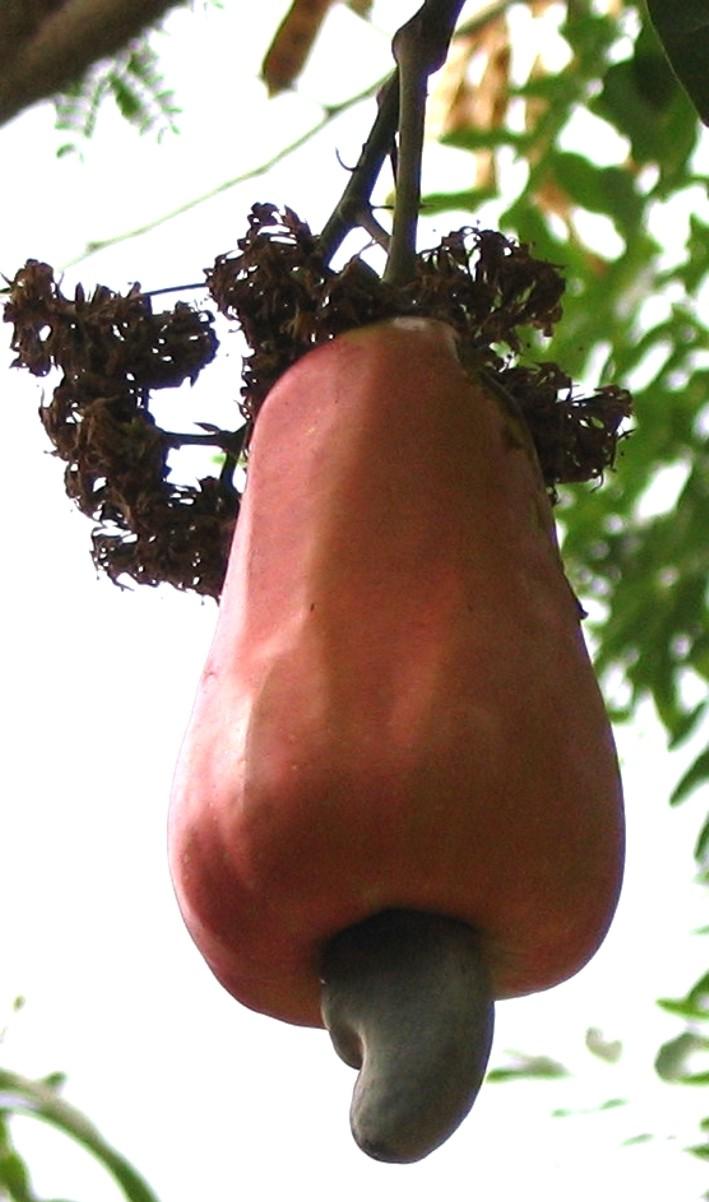 """Cashewnuss am Baum; der Cashewapfel ist der """"Stil""""."""