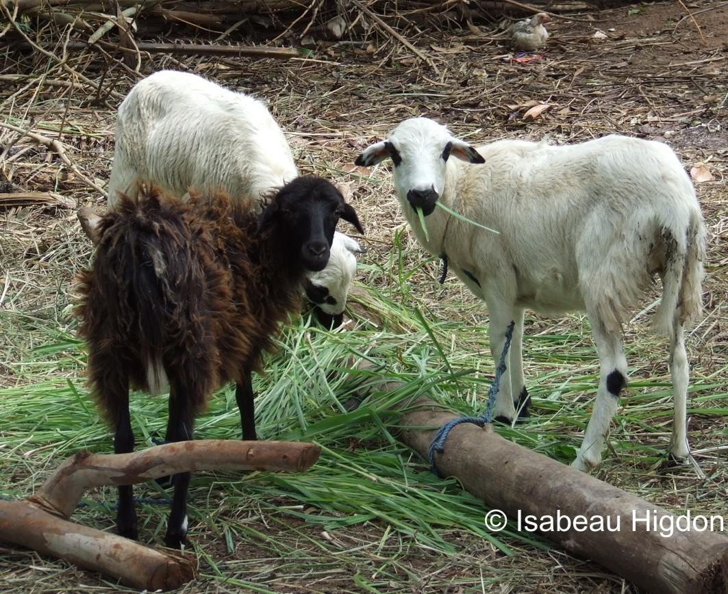 Schafe - korrekt angebunden